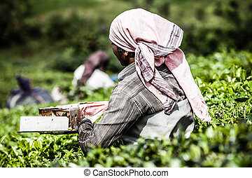 feuilles, mieux, connu, cueillette, femme, india's, plantation, munnar, capital, thé