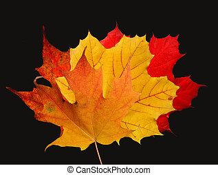feuilles, noir, érable, fond