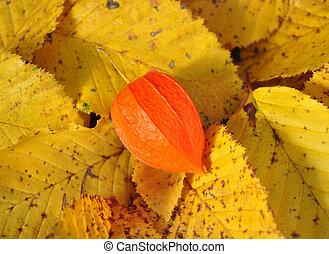 feuilles, physalis, automne