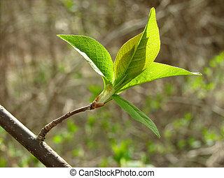 feuilles, premier