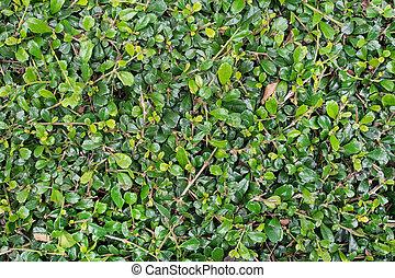 feuilles, proces, mur, arrière-plan vert