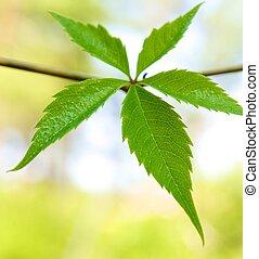 feuilles, résumé, arrière-plan vert, frais, sur
