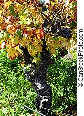 feuilles raisin, vigne, haut, vineyard., automne, établissement vinicole, fin, australien