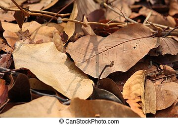 feuilles, séché