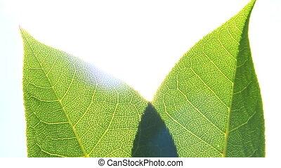 feuilles, soleil, vert