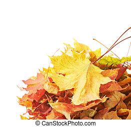 feuilles, tas, isolé, coloré, érable