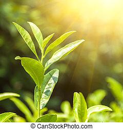 feuilles thé, vert, bourgeon