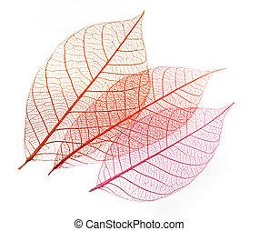 feuilles, transparent, squelette