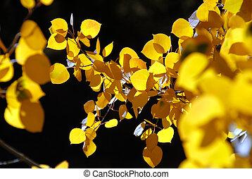 feuilles, tremble, branche, jaune