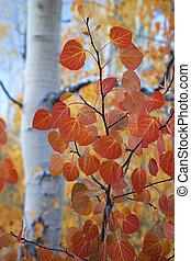 feuilles, tremble, rouges