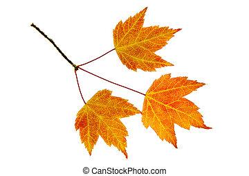 feuilles, trio, érable, automne