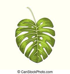 feuilles, vecteur, blanc, exotique, monstera, illustration, arrière-plan.
