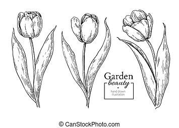 feuilles, vecteur, main, tulipe, dessiné, fleur, gravé, flor, drawing.