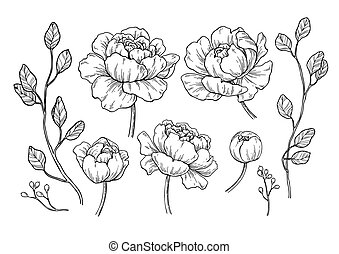 feuilles, vecteur, pivoine, main, dessiné, fleur, gravé, flor, drawing.