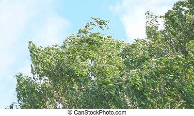 feuilles, vent, bouleau