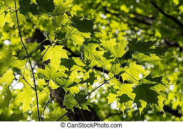 feuilles, vert, érable