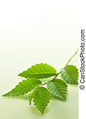 feuilles, vert, branche