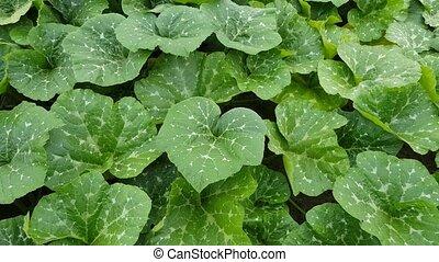 feuilles, vert, citrouille