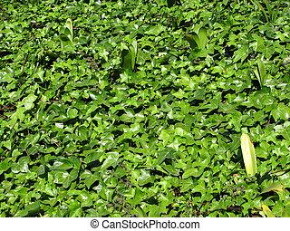 feuilles, vert, lierre
