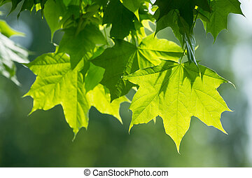 feuilles vertes, arbre, érable