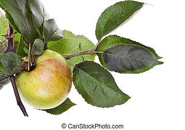feuilles vertes, arbre, pomme, branche