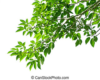feuilles vertes, blanc, fond