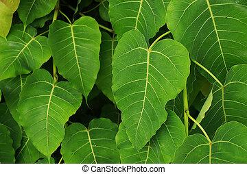 feuilles vertes, bodhi, concept, fond, frais, arbre, nature