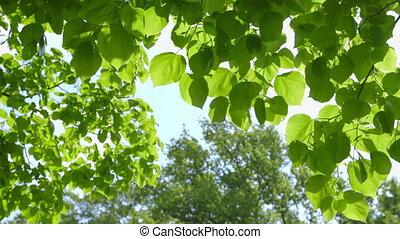 feuilles vertes, en mouvement, vent