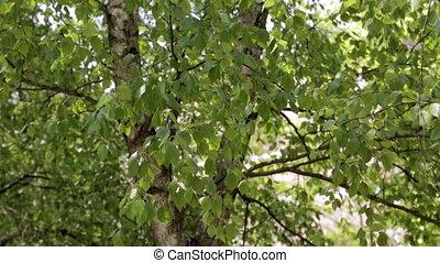 feuilles vertes, temps, ensoleillé, arbres