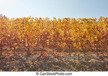 feuilles, vigne, vignoble, jaune, automne, rang