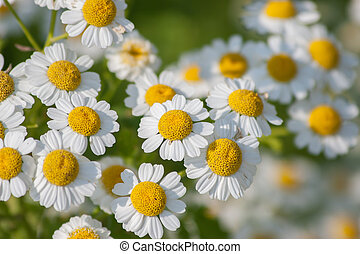 Feverfew - Some feverfew are soaking up the sunlight.