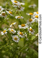 Feverfew - Tanacetum parthenium - Feverfew (Tanacetum...