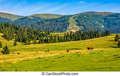 few cows grazing on hillside meadow. rural fields near the...