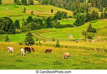 few cows grazing on hillside meadow. haystacks behind the...