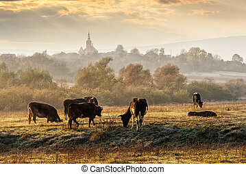 few cows on frosty meadow - Carpathian rural area behind the...
