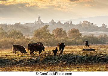 few cows on frosty meadow