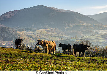 few cows on hillside meadow in mountains - Carpathian rural...