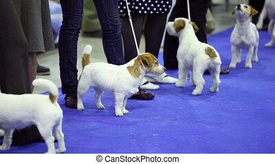 Few dogs of Parson Russell terrier breed stand on leashes at contest