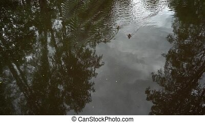 few ducks swim on the river in a park, top view