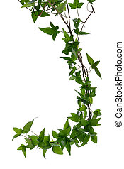 Few Ivy stems isolated over white. - Few dense ivy (Hedera) ...