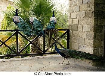 Few peacocks near building walking outside
