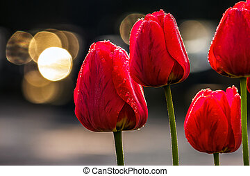 red tulips on dark background with bokeh - few red tulips on...