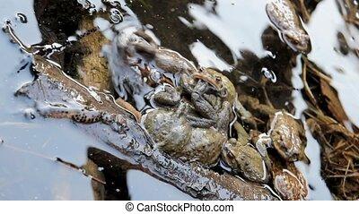 few toads in Love - few toads mating in a pond