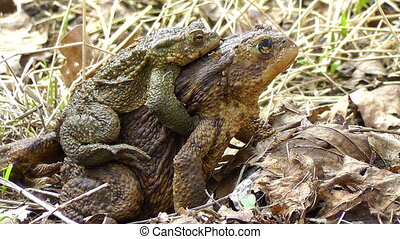 Few toads - Toads in mating - females carrying males