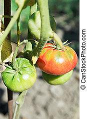 few tomato on bush in garden