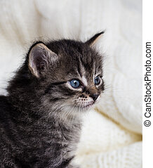 Few weeks old tabby kitten with fluffy fur and blue eyes
