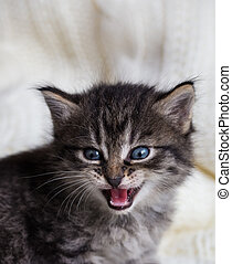 Few weeks old tabby kitten with fluffy fur and open mouth