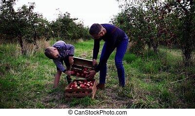fiú, gyümölcsöskert, autumn., atya, alma, kicsi, feltörés