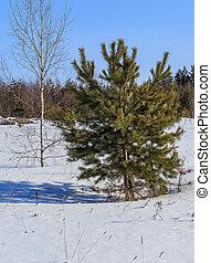 fiatal, mező, tél, sóvárog, nyírfa