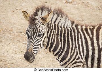 fiatal, zebra, házaló árus, equus burchelli, chapmani